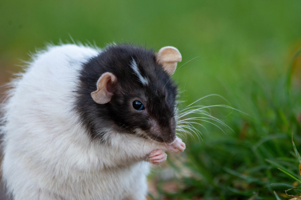 I smell a rat by stevejacob
