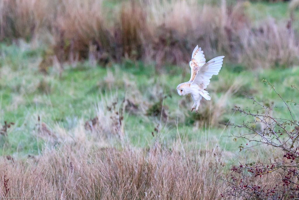 Barn Owl about to pounce!! by padlock