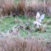 Barn Owl about to pounce!!
