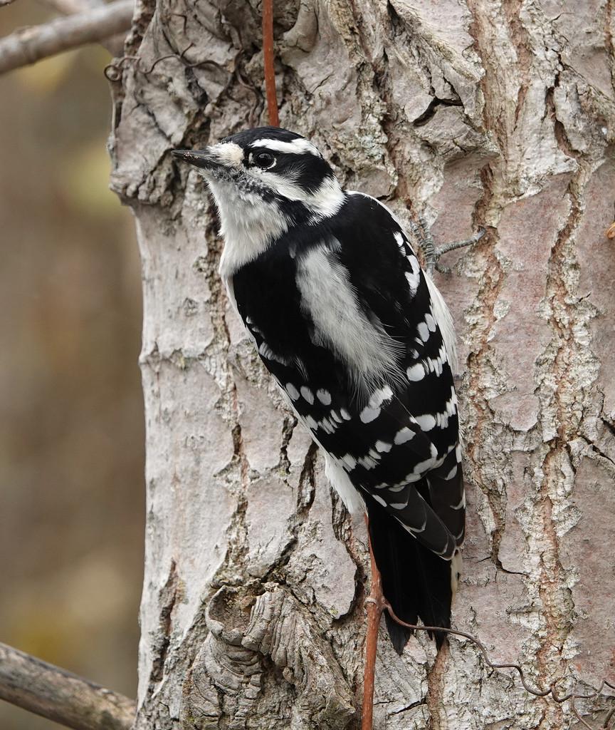 Downy Woodpecker by annepann