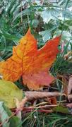 28th Oct 2019 - Maple Leaf