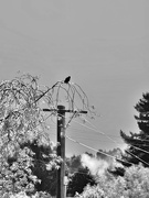 29th Oct 2019 - Bird on a Wire (branch)