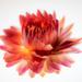 strawflower by haskar