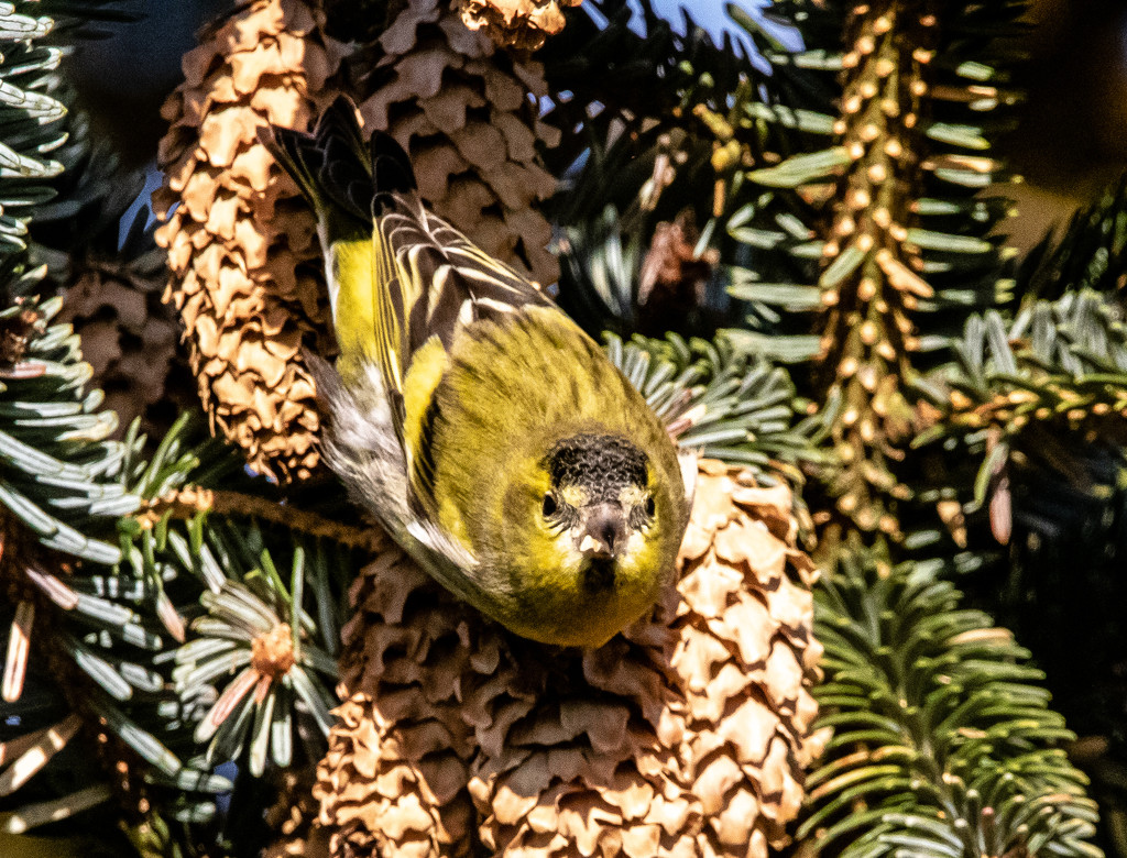 Siskin by lifeat60degrees
