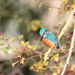 2019 10 30 - Kingfisher Again