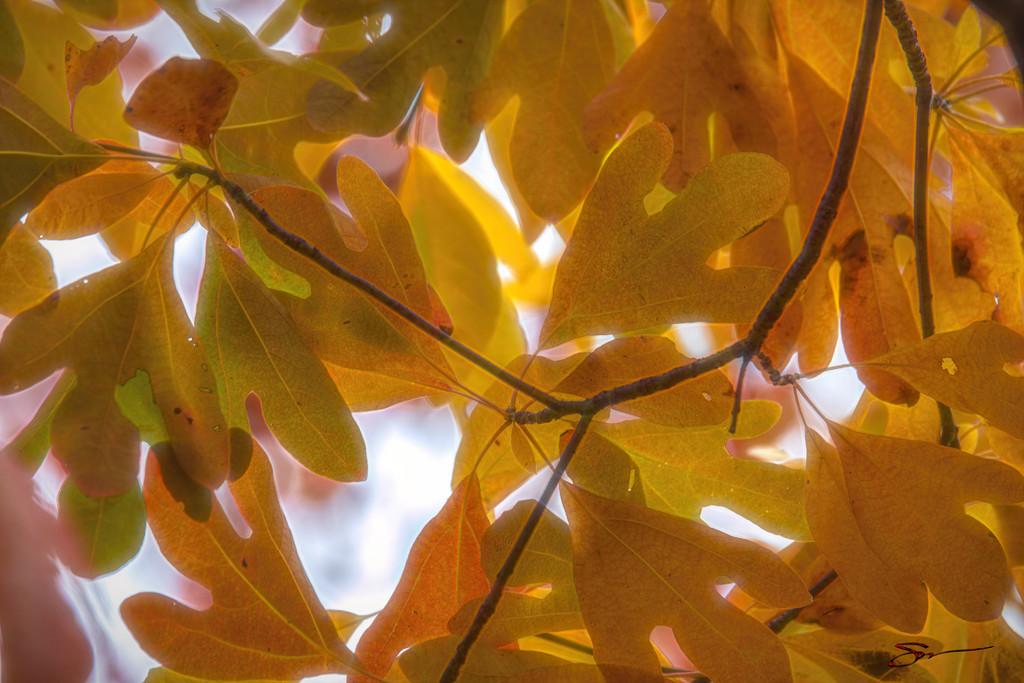 Sassafras Leaves by skipt07