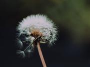 31st Oct 2019 - Dandelion