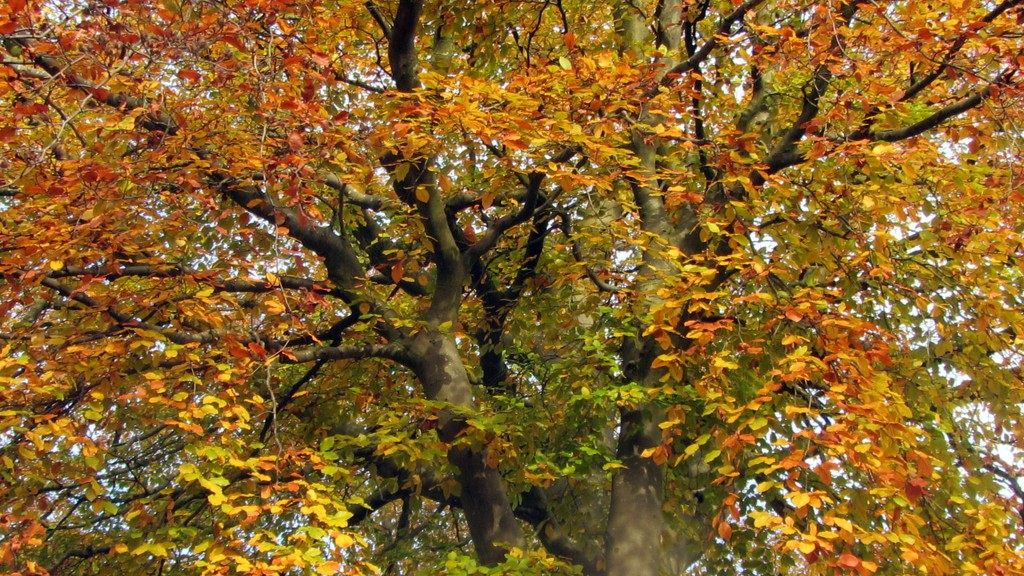 Changing colour of Beech tree. by grace55