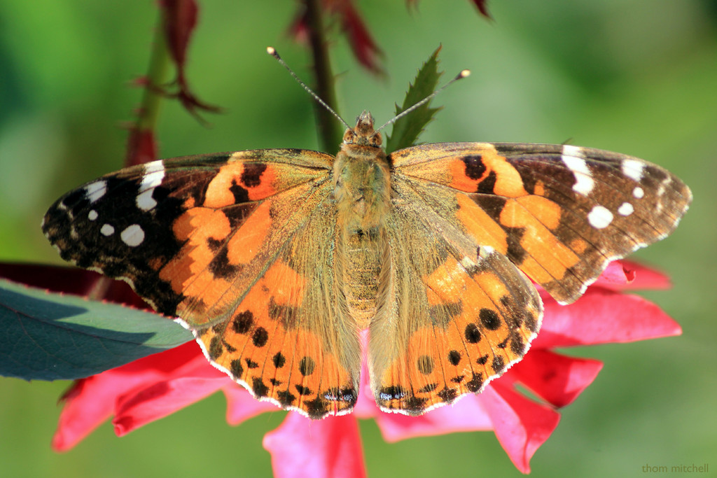 Painted Lady, wings down by rhoing
