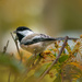 chickadee by jernst1779