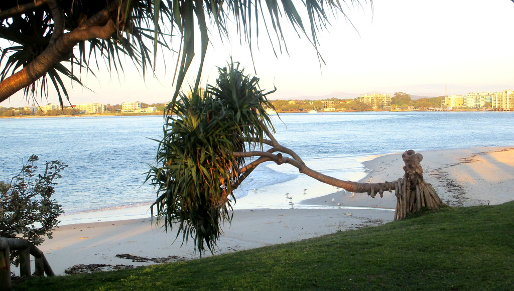 This tree lost its way!!!Caloundra beach by 777margo