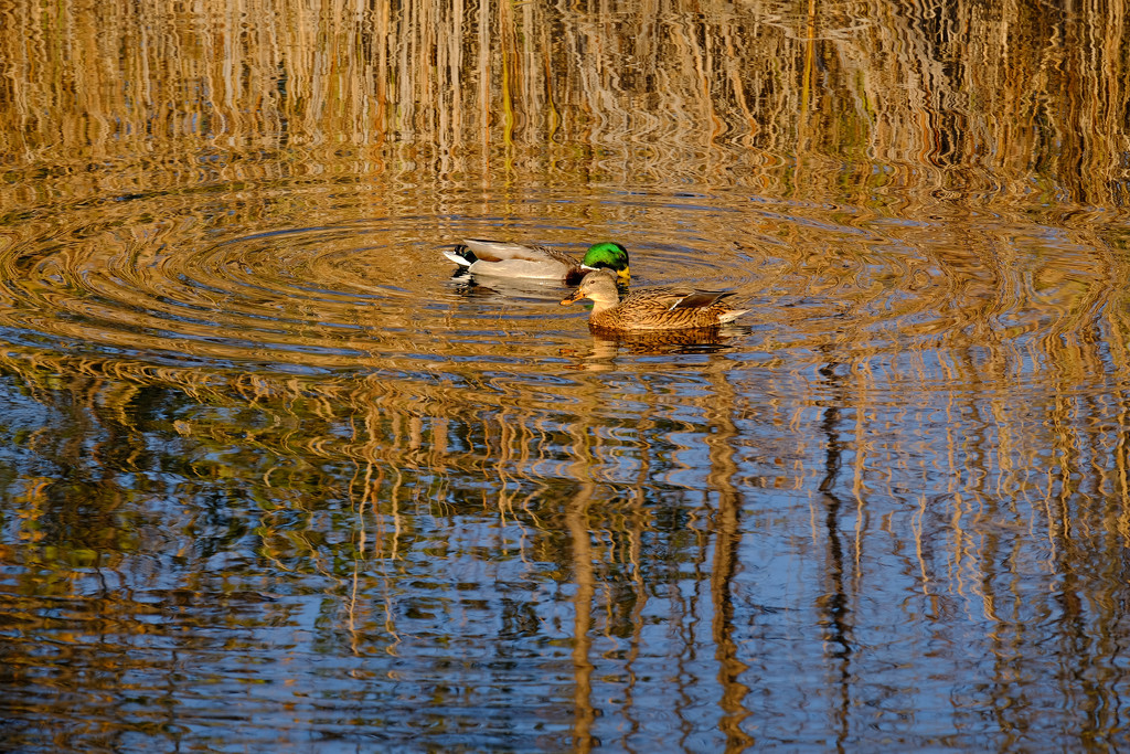 Mallards  by tosee