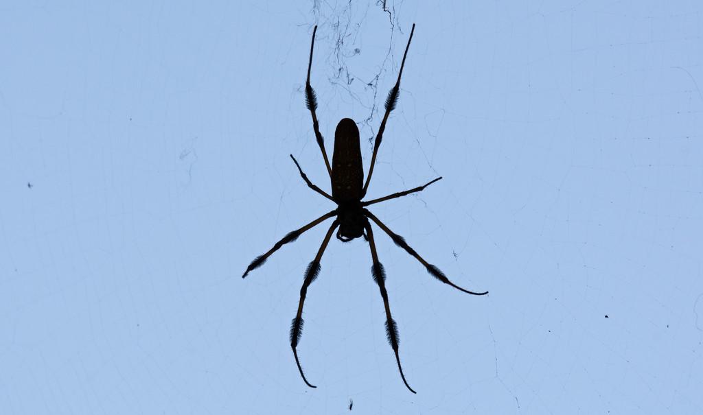 Halloween Spider Silhouette! by rickster549