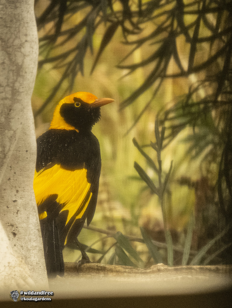 Bowerbird by koalagardens