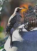 1st Nov 2019 - Northern Flicker