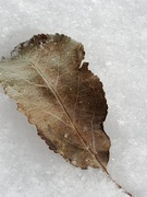 1st Nov 2019 - Fall? Leaf on Snow