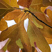 Sassafras Leaves: Deux