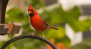 1st Nov 2019 - Mr Cardinal Out the Back Window!