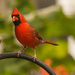 Mr Cardinal Out the Back Window! by rickster549