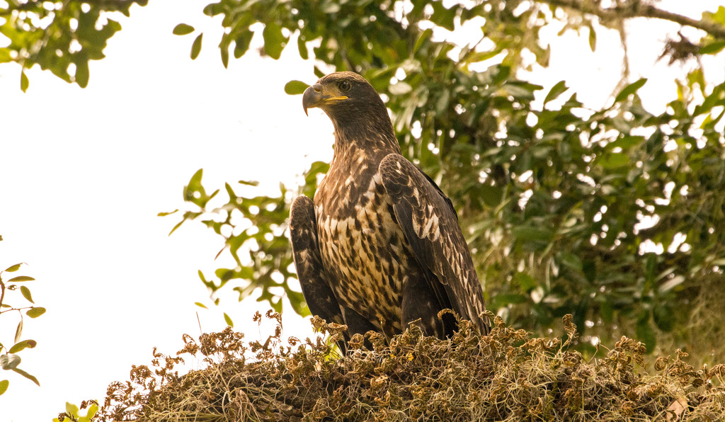 Juvenile Bald Eagle, Waiting for Dinner! by rickster549