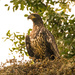 Juvenile Bald Eagle, Waiting for Dinner! by rickster549
