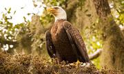 1st Nov 2019 - Bald Eagle Mom, I Think!