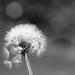 Dandelion by brigette