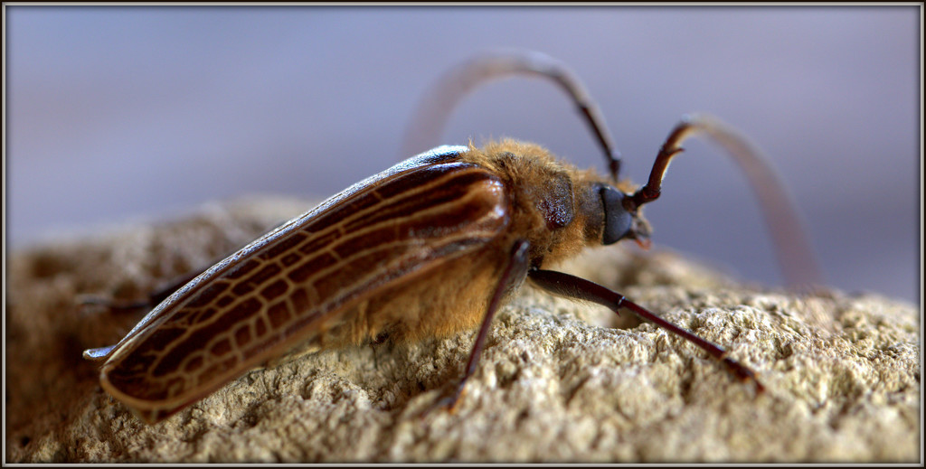 The huhu beetle by dide