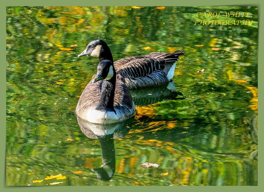 Canada Geese by carolmw