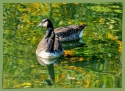 2nd Nov 2019 - Canada Geese