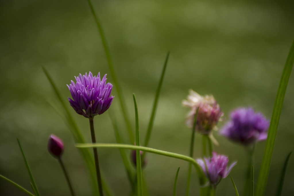 Chives by nickspicsnz