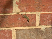 2nd Nov 2019 - Lizard on Side of house