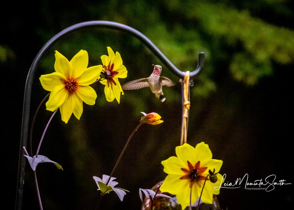 Still here, Hummingbird! by princessleia
