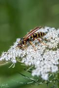 3rd Nov 2019 - Paper Wasp