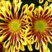 A Burst Of Chrysanthemum