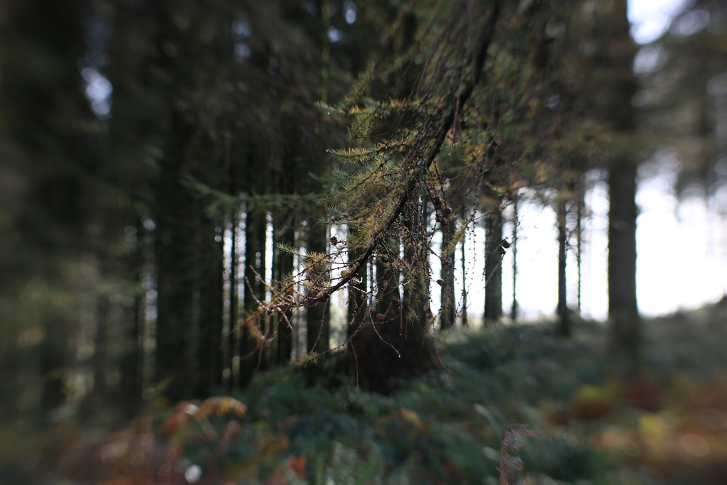 Larch Woods by motherjane