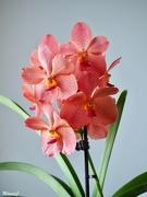 3rd Nov 2019 - Vanda orchid