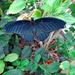 Battus Swallowtail or Midnight Swallowtail by larrysphotos