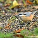 RK3_4932 Today's nuthatch
