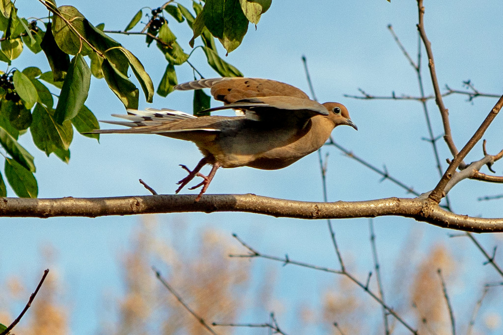 mourning dove in flight by rminer