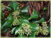 5th Nov 2019 - flowering ivy...