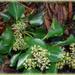 flowering ivy...