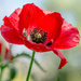 red poppy  by ulla