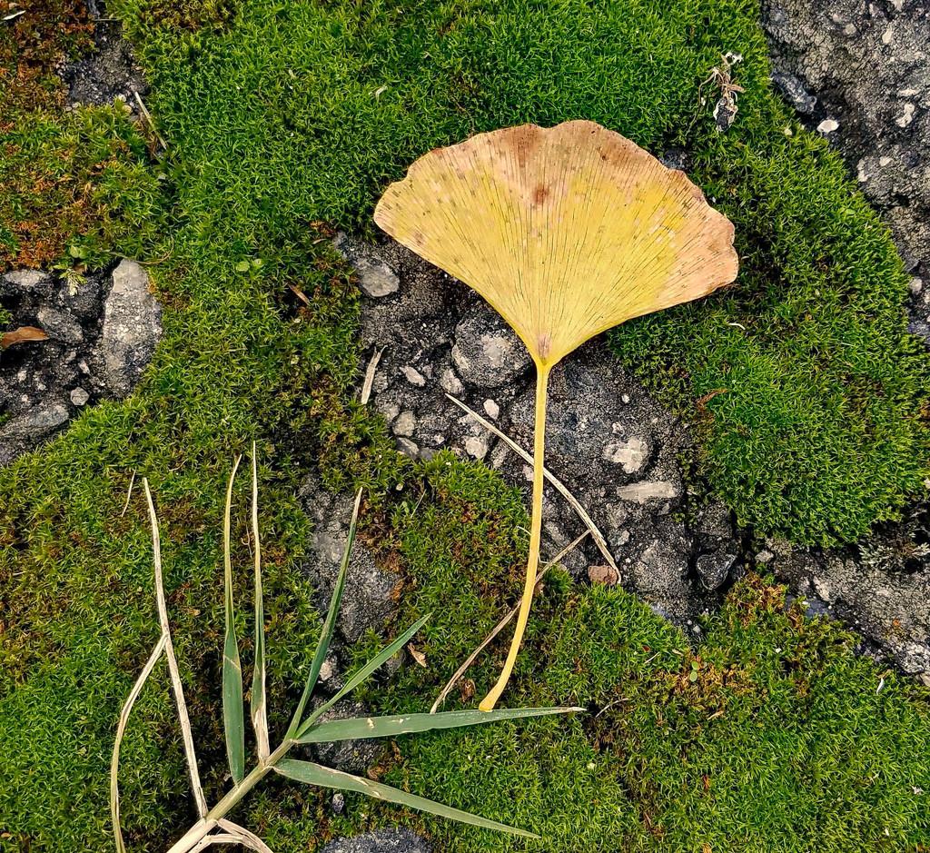 Ginkgo leaf in the moss by randystreat