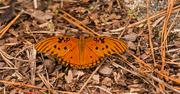 4th Nov 2019 - Gulf Fritillary Butterfly!