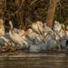 Pelican party by samae