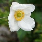 5th Nov 2019 - Japanese anemone in white