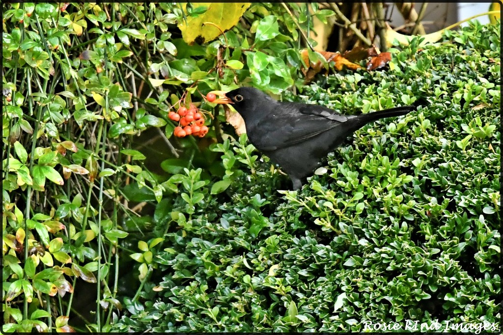 RK3_4874 Caught with a berry by rosiekind