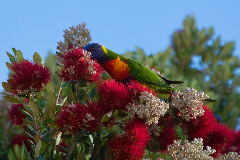The Rainbow Lorikeets Are Back DSC_4331 by merrelyn