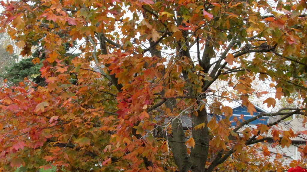 Looks like I'm in love with our maple tree by bruni